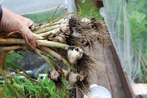 This year's Solent Wight garlic harvest