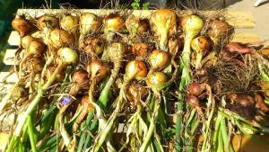 Ones onions, drying in the sun