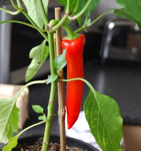 Hungarian Hot Wax chilli