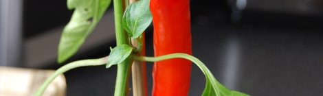 Hungarian Hot Wax chilli