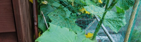 Marketmore cucumber plants