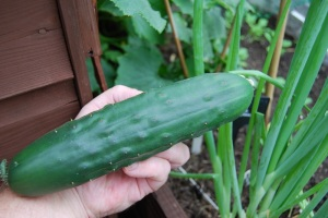 Healthy big cucumber