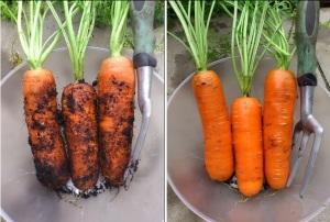 Autumn-picked Maestro F1 carrots