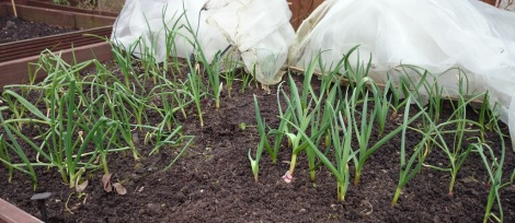 Overwintered onions and garlic