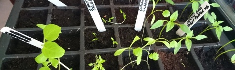 Variety of veg seedlings