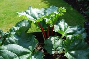 Young rhubarb coming along