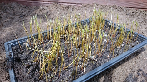 Two-week old agretti seedlings