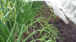Onions, shallots and spring onions