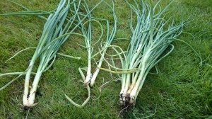 Shallot that hadn't bunched properly