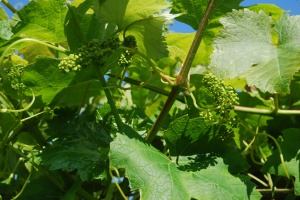 Tiny green grapes in June