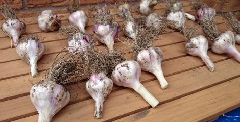 Provence Wight garlic drying