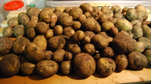 This year's maincrop potatoes
