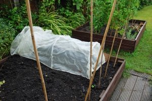 Saffron bulbs planted out under cover