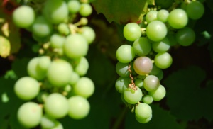 Black Grapes starting to colour