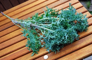 Freshly picked 'Seaweed Kale'