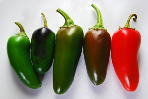 Jalapeños maturing from green to red
