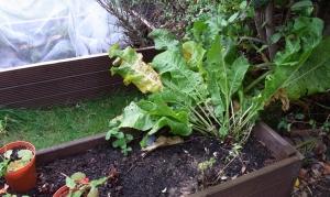 Horseradish plant ready to be harvested