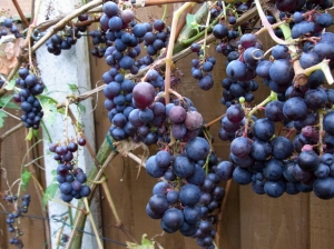 Ripe grapes ready for picking