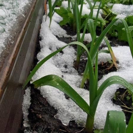Chilled garlic