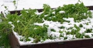 Flattened green manure mustard