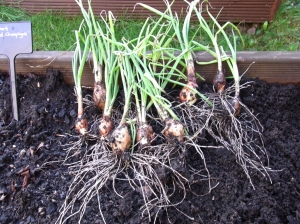 Young shallots lifted for transplanting