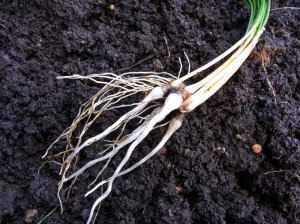 Carrot-like saffron roots