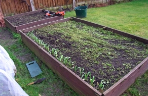 During: chopped up green manure on the surface