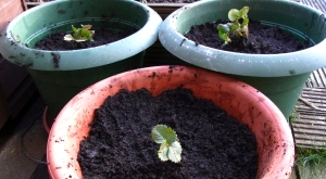 Strawberries planted out into pots