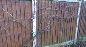 Last year's growth on one of the grape vines
