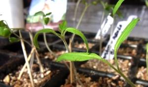 Seedlings coming along in propagator