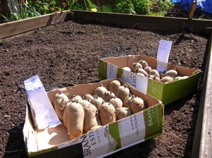 Potatoes ready to plant out