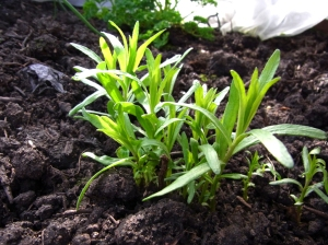 Tarragon, with lush new growth