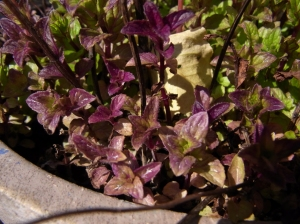 Purple spearmint leaves