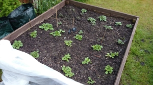 Good growth in the potato bed