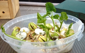Chitting bean seeds.  Will stay safe indoors for now.