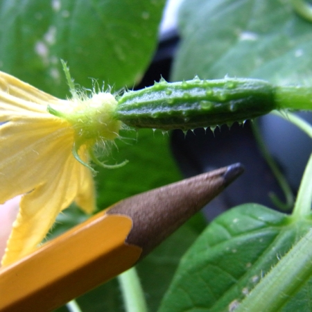 Tiny cucumbers forming