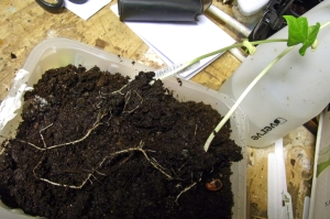 Long roots in just one week
