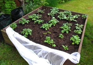 Potatoes ready for earthing up again