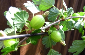 Young gooseberries fruiting