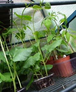 Indoor grown Spagna Bianco (centre)