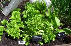Lush, leafy lettuces