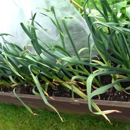Garlic maturing well