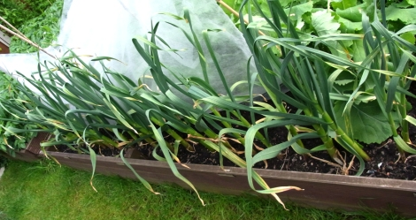 Garlic maturing well