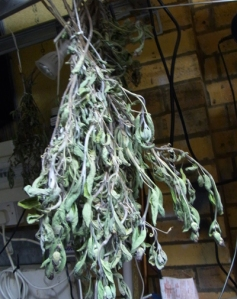 Sage drying out indoors