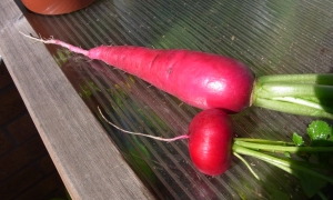 Two radish varieties
