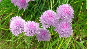 Pretty chive flowers, which are edible too