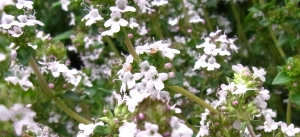 Hundreds of tiny thyme flowers
