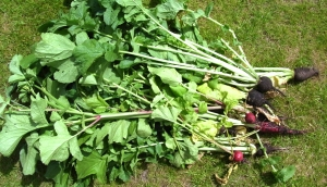 Radishes with lots of foliage