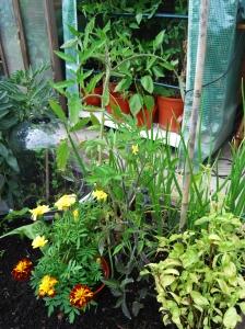Tomato plants in good company