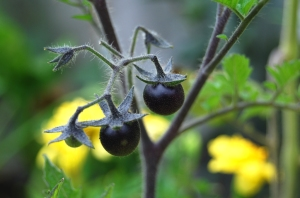 Black tomatoes of the Indigo Blue variety